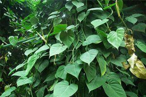 心叶藤的繁殖方法