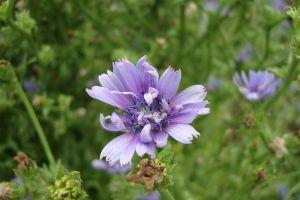 菊苣常见病虫害防治方法