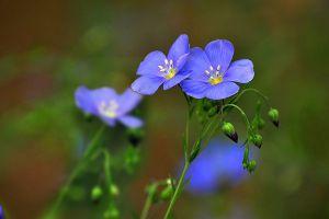 蓝亚麻什么时候开花