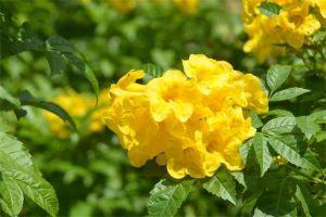 黄钟花的主要品种是什么
