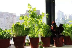 阳台上适合种什么蔬菜