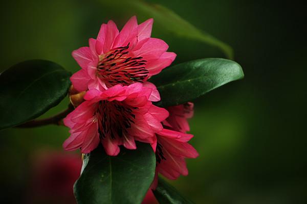 红花荷的播种繁殖