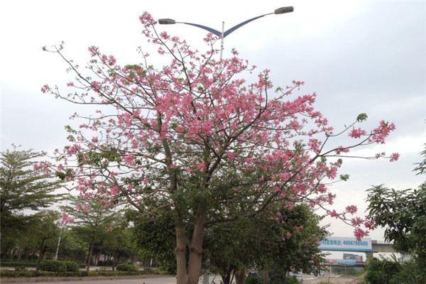 美人树的养殖方法