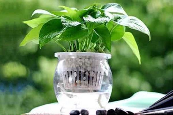 五种最适合水培的花卉