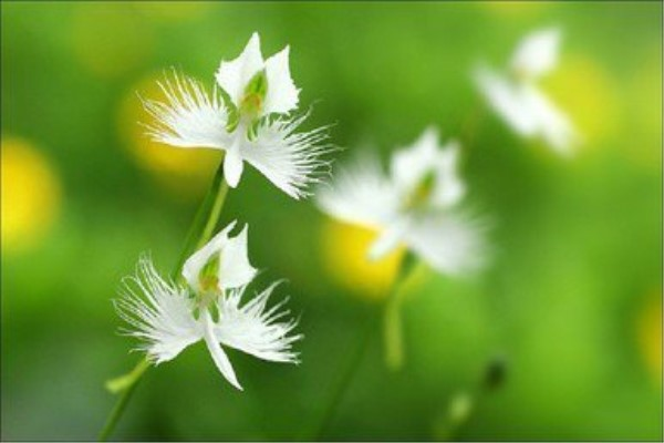 鹭草的花语和传说