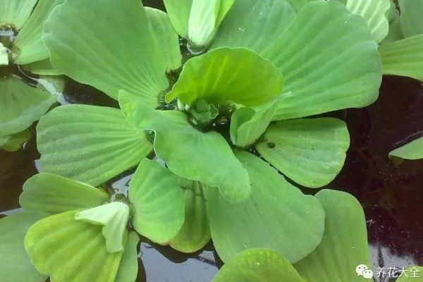 臭水沟挖点它养盆里,居然完爆花市重金买的盆栽!