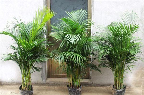 盆栽棕榈的种类介绍