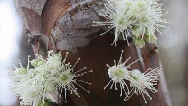 嘉宝果的繁殖和修剪