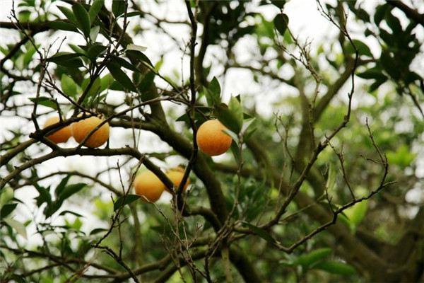 柑橘的功效和作用