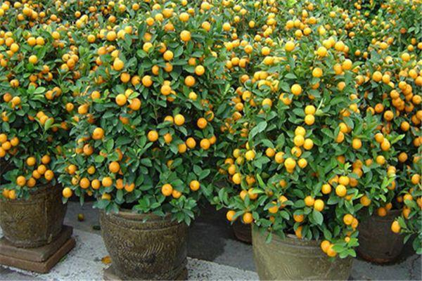 盆栽柑橘的养殖方法