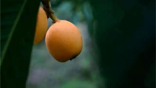 盆栽枇杷的种植方法