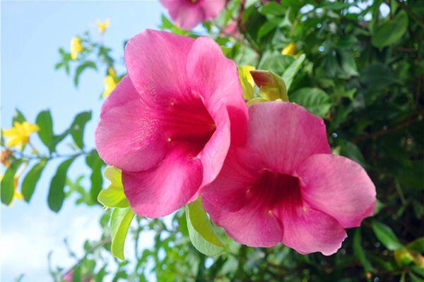 紫蝉花的养殖方法及注意事项