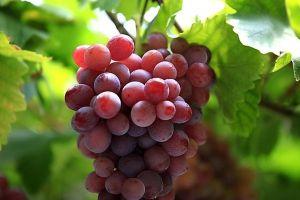 这5种水果最适合种在盆里