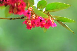 红花荷的养殖方法和注意事项