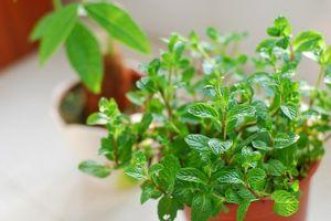 阳台种植香草植物注意事项