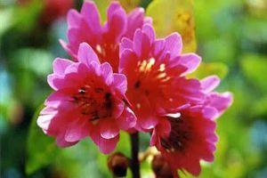 红花荷的扦插繁殖