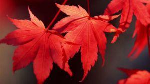 枫树叶的功效和作用