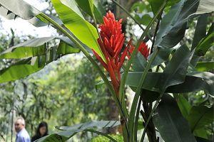 红花蕉的繁殖方法