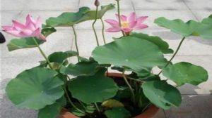盆荷花的种植方法