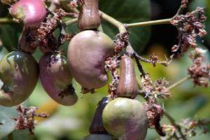 腰果的栽培方法及注意事项