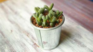 鹿角海棠怎么繁殖