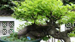 九里香盆景的制作方法