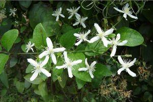 威灵仙的植物文化