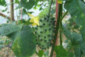 刺角瓜的种植方法
