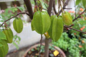 杨桃的盆栽方法