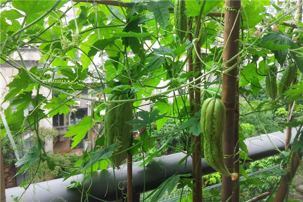 阳台种植苦瓜的方法