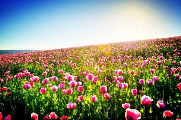 五种适合成片种植的花卉