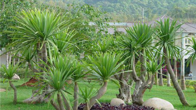 龙须兰和龙血树的区别