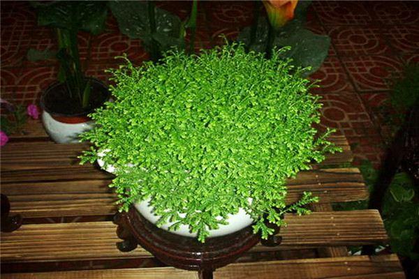 青龙草盆栽这么养,又绿又壮!