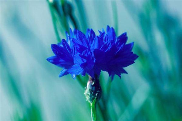 这8种开蓝色花朵的花卉,超美!