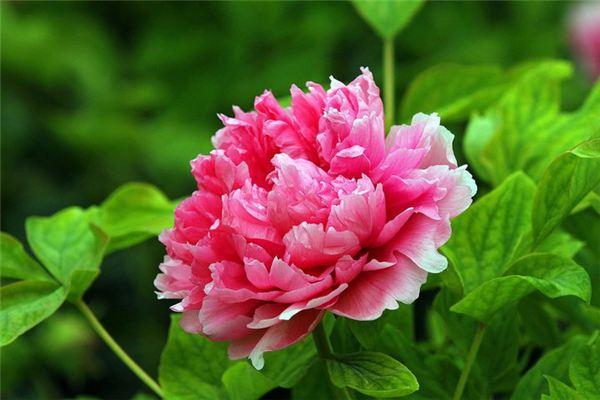三种中国特有花卉,花美历史还悠久!