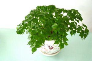富贵树怎么浇水,这样浇叶子有绿又油!