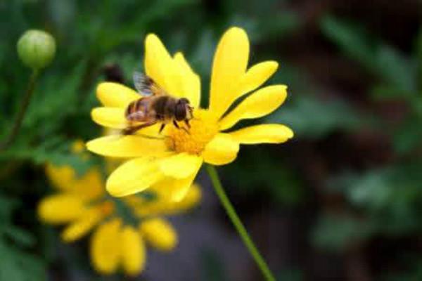 黄金菊的功效与作用