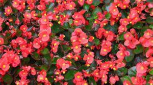 四季海棠的花语及意义