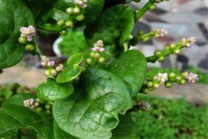 落葵的种植方法