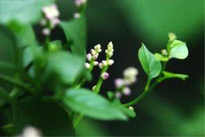 落葵的病害防治
