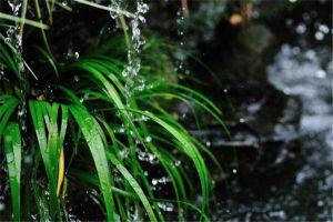 菖蒲怎么浇水