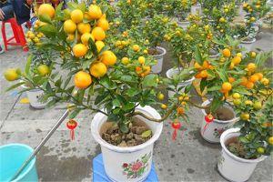 盆栽金桔怎么施肥