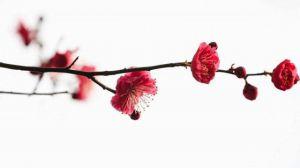 梅花什么时候开花