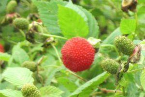 空心泡和树莓的区别