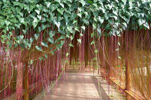 锦屏藤可以盆栽吗