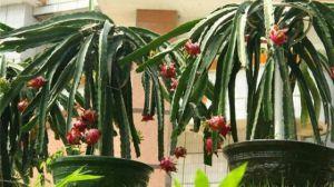盆栽火龙果怎么浇水