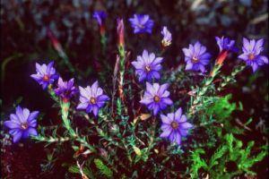 龙胆草的花语与传说