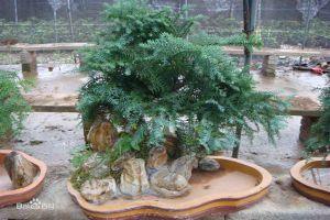 澳洲杉的繁殖方法