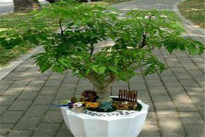 富贵树冬季怎么养