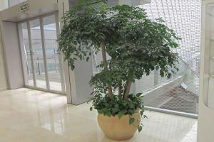 富贵树枝干下垂怎么办